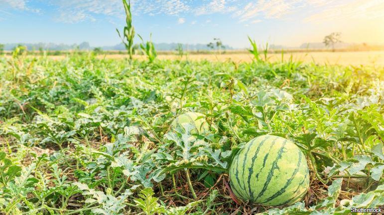 Je vodní meloun ovoce nebo zelenina?